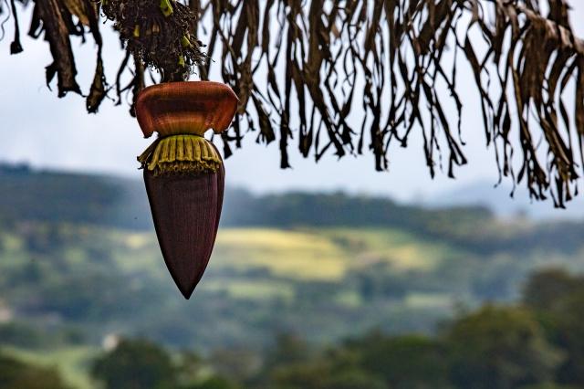 Monteverde. Banana flower